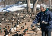 Senior citizen feeding geese in a clod winter day poster