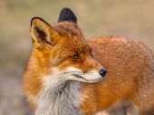 A full resolution portrait of a red fox (Vulpes vulpes) looking backward in natural environment. The beautiful wild animal of the wilderness. Shred looking in the camera. Eye to eye with a dodgy vulpine. One of the most grace wood inhabitants poster