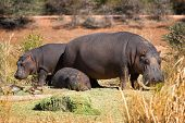 Hippo family - the shot was taken in Namibia. poster