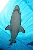 Underwater Shark poster