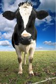 british fresian cow in a field against a blue sky poster