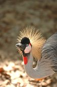 A large crowned crane has a feather on it's beak. poster