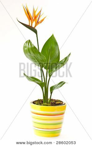 beautiful blooming flower Strelitzia in indoor pot poster