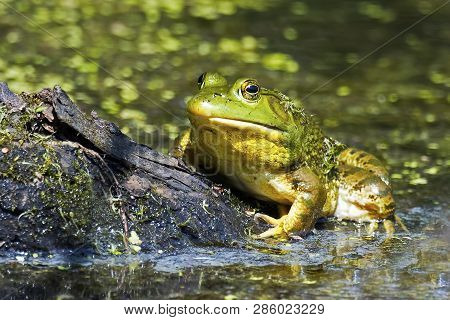 An American Bullfrog Resting On A Piece Of Wood