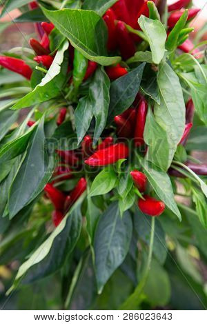 Fresh Red Chillies With Green Leaves On The Grocer Bench