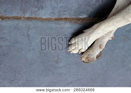 Dirty White Foot Of Stray Dog On Metal Floor With Copy Space Background, Problem Of Dogs Being Aband