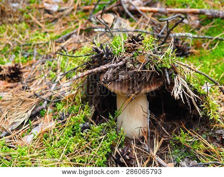 Wild Organic White Mushroom In The Forest. Bolete, Boletus, Cep, Cepe Porcini