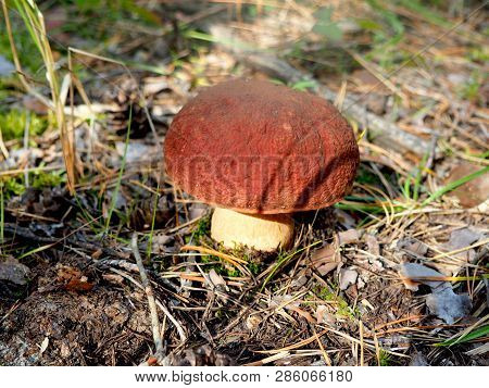 Small Organic White Mushroom In The Forest Ground. Bolete, Boletus, Cep, Cepe Porcini