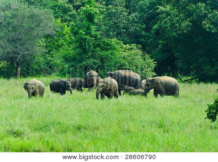 Wild Indian Elephants In The Nature