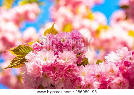 Cherry Blossom. Sacura Cherry-tree. Spring Cherry Blossoms, Pink Flowers. Blooming Sakura Blossoms F