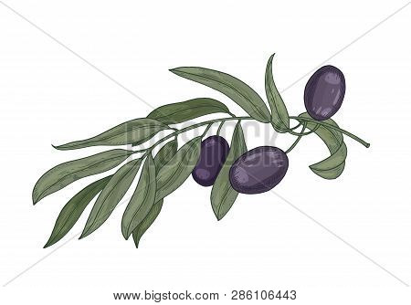 Detailed Botanical Drawing Of Olive Tree Branch With Leaves And Black Fruits Or Drupes Isolated On W