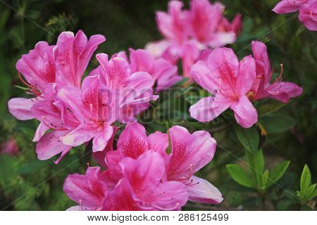The Rhododendron Flowers In A Public Park At Tko