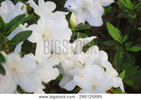 The Rhododendron Flowers In A Public Park At Tko 2017