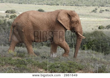 Great Big Elephant