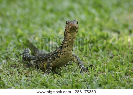 Varanus salvator is walking on the lawn The reptiles in South Asia and Southeast Asia. poster