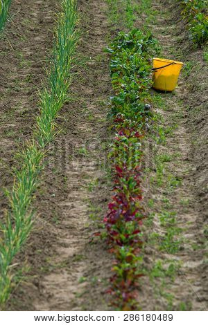 Rural view with yellow bucket on the treated field. Yellow bucket in furrow. Beet and onion furrows in Latvia. poster