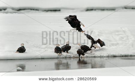 Feeding Of Bald Eagles (haliaeetus Leucocephalus)