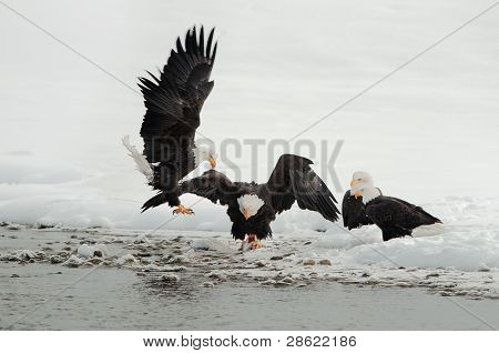 Fighting Of Bald Eagles (haliaeetus Leucocephalus)