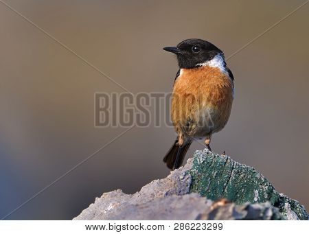 Stonechat  - Saxicola Torquatus Sitting In Spain. Beautiful Background.