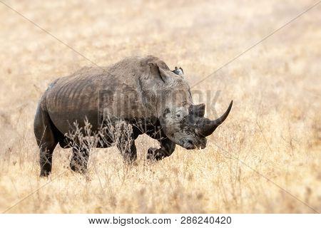 Adult rhinoceros walking the the grasses of Lake Nakuru National Park, Kenya.