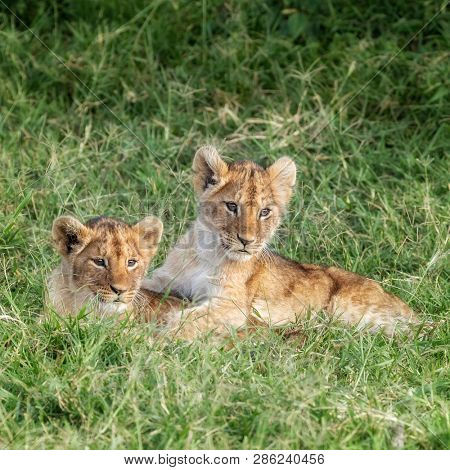 Playful lion cubs in the lush grass of the Masai Mara, Kenya