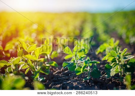 Concept Of Earth Day.  Glycine Max, Soybean, Soya Bean Sprout Growing Soybeans On An Industrial Scal