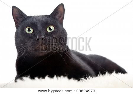 black cat isolated on the white background poster