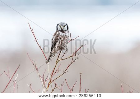 Northern Hawk Owl Perched On Tree, Hunting In Winter, At Vancouver Bc Canada