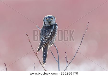 Northern Hawk Owl Perched On Blueberry Tree, Hunting In Winter, At Vancouver Bc Canada