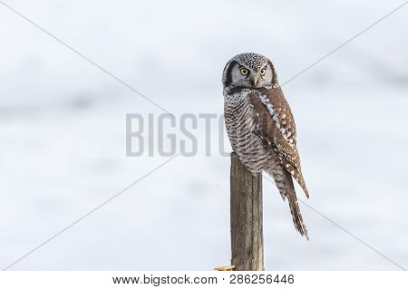 Northern Hawk Owl Perched On Fence Post, Hunting In Winter, At Vancouver Bc Canada