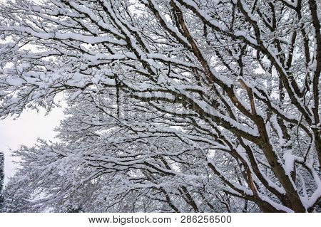 Snow On Tree Branches For Nature Background