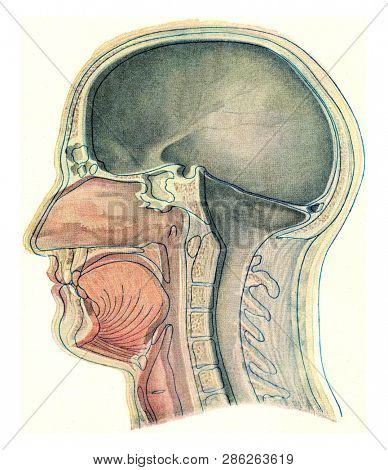 Median section through the head of a European, vintage engraved illustration. From the Universe and Humanity, 1910.