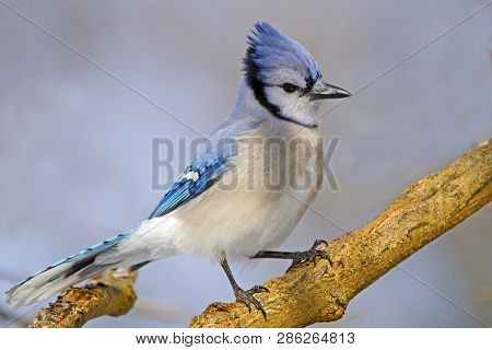 A Blue Jay Sitting In A Tree
