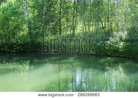 Tranquil Forest Pond Framed By Lush Green Woodland Park In Sunshine. Green Water In A Pond With Duck