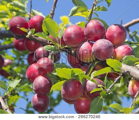 Large Ripe Plums On The Branches. Juicy Cherry Plum Lit By The Bright Sun Against The Sky