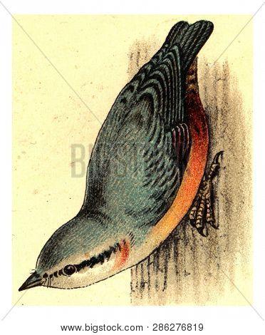 Nuthatch, vintage engraved illustration. From Deutch Birds of Europe Atlas.