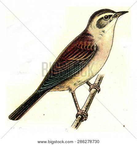 Reed Warbler, vintage engraved illustration. From Deutch Birds of Europe Atlas.