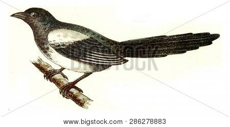Magpie, vintage engraved illustration. From Deutch Birds of Europe Atlas.