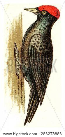 Black woodpecker, vintage engraved illustration. From Deutch Birds of Europe Atlas.