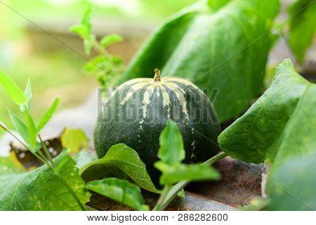 Muskmelon - Green Cantaloupe Thai Melon In Farm Garden Agriculture Nature Background