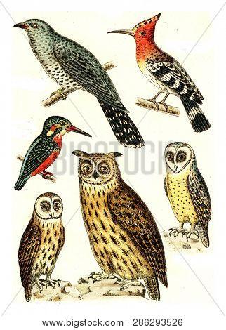 Cuckoo, Hoopoe, Kingfisher, Barn Owl, Brown owl, Eagle Owl, vintage engraved illustration. From Deutch Birds of Europe Atlas.
