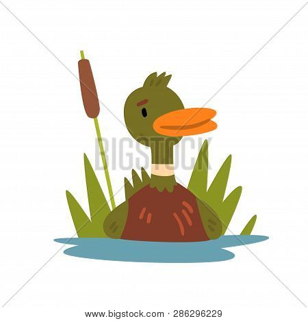 Cute Funny Male Mallard Duckling Cartoon Character Swimming In Lake Or Pond Vector Illustration