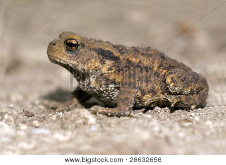 Brown toad - frog sitting on the ground poster