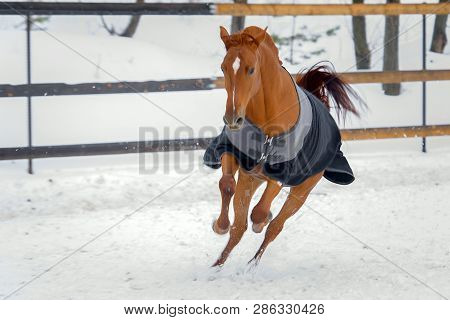 Domestic Red Horse Walking In The Snow Paddock In Winter. The Horse In The Blanket
