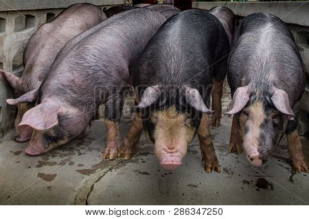 Berkshire Pig Or Kurobuta Pig - Swine Farming Business In Relax Time. Pig Farming Is The Raising And