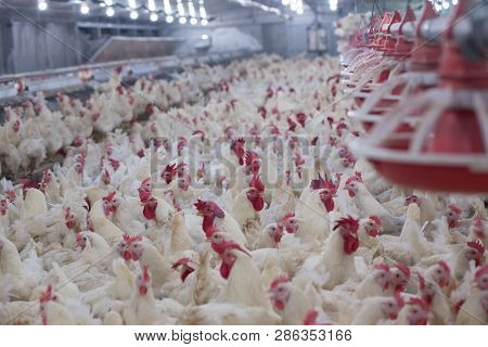 Poultry Farm With Chicken. Husbandry, Housing Business For The Purpose Of Farming Meat, White Chicke