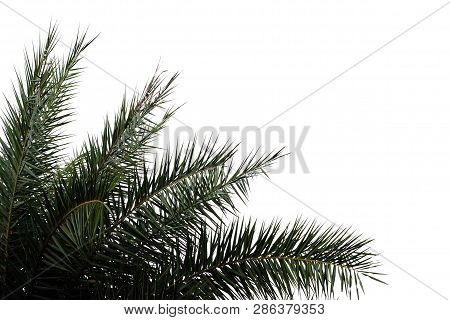 Cycad Leaves On White Isolated Background For Green Foliage Backdrop