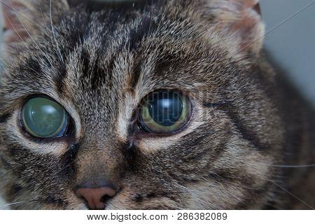 Acute glaucoma in adult cat, intraocular presure increased and blind at presentation, keratic precipitates poster