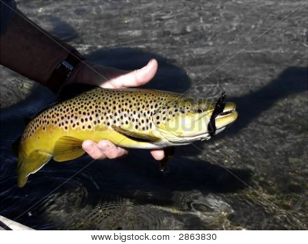 Brown Trout On The Fly