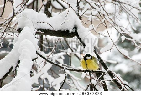 The Great Tit (parus Major) Sitting On Branch Of Tree Under Snow